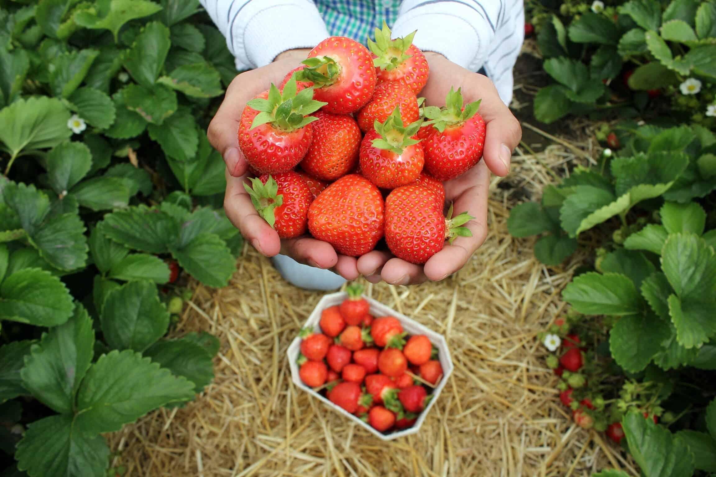 freshly picked strawberries farm work